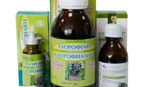 Хлорофиллипт при насморке — когда можно применять и как правильно это делать?