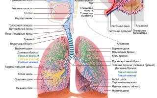 О нашем сайте ( заболевания дыхательной системы и лёгких в частности)
