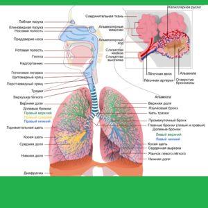 схема дыхательной системы